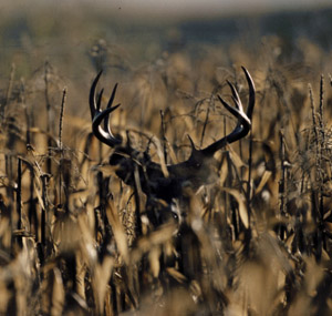 Buck in a Cornfield