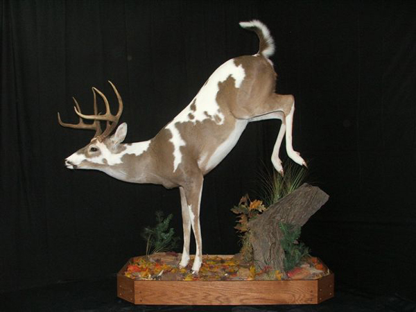 Texas Piebald Buck Piebald Deer Mounts