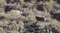 Deer kills Deer on Arizona Strip