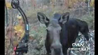 Awesome Moose Video Footage